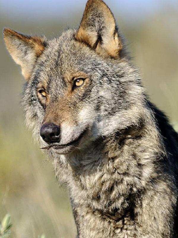 Europa apoya las medidas adoptadas en Andalucía para abordar la situación del lobo