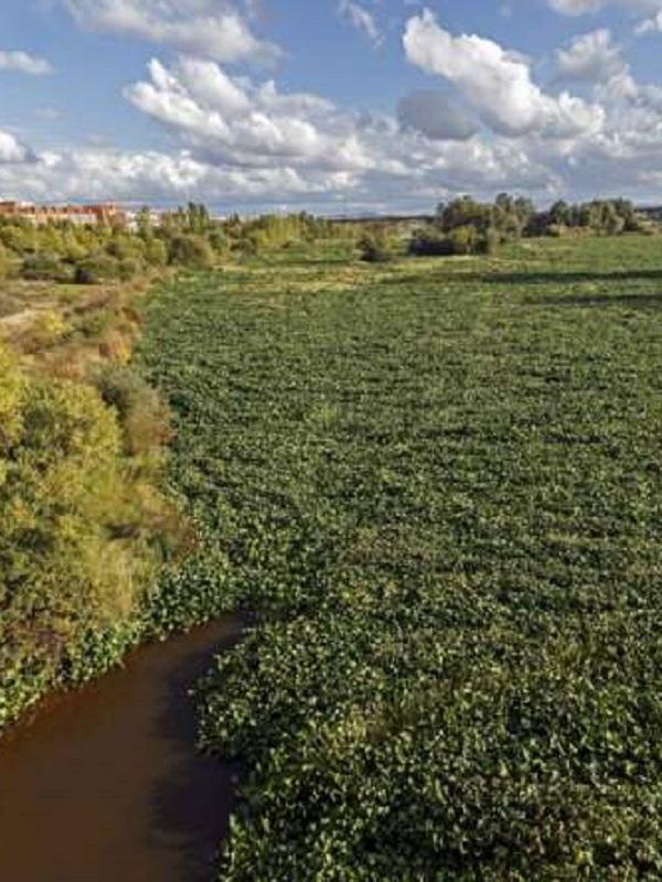 El camalote invade el río Guadiana