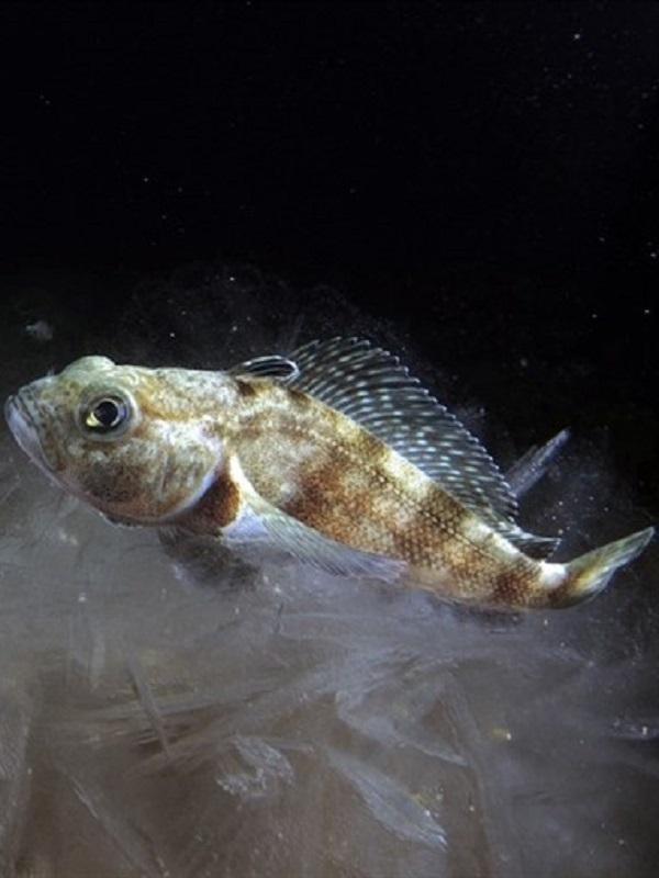 Peces del mar profundo viven virtualmente sin oxígeno