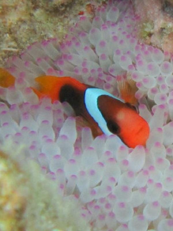 Analizando la reacción de un pez payaso canela