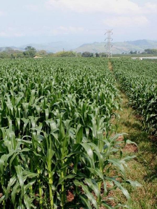 Nueva 'arquitectura' molecular realza el maíz como productor de etanol