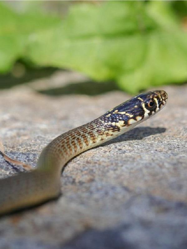 Un género inédito de serpientes aparece en el estómago de otro ofidio