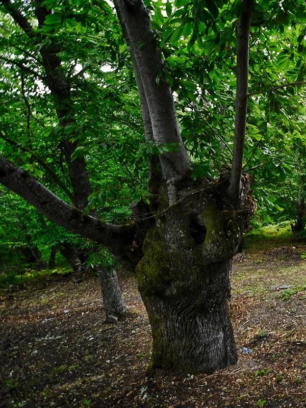 Galicia presenta la primera guía de viajes sobre árboles singulares
