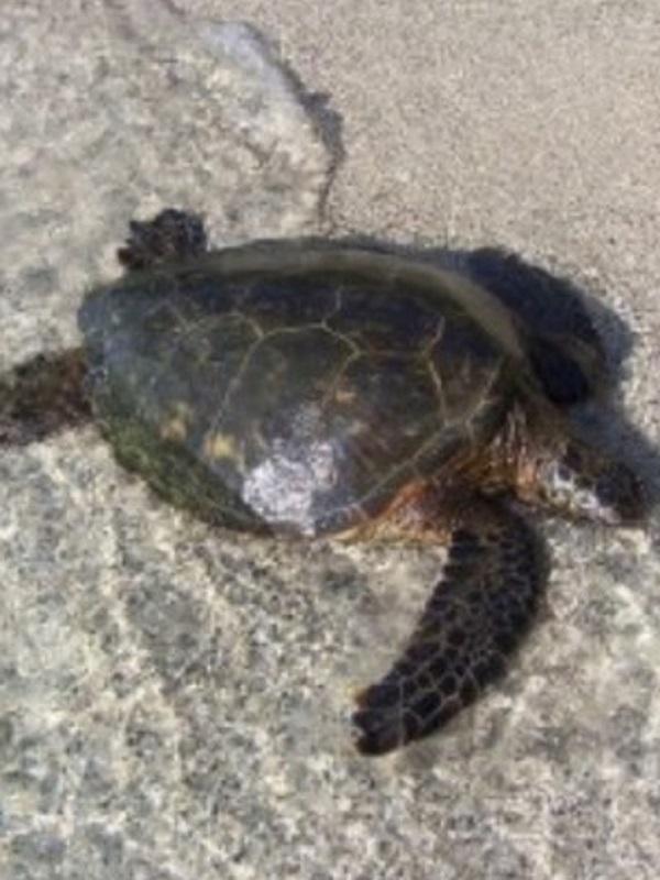Reintroducción de la tortuga verde en las islas Caimán