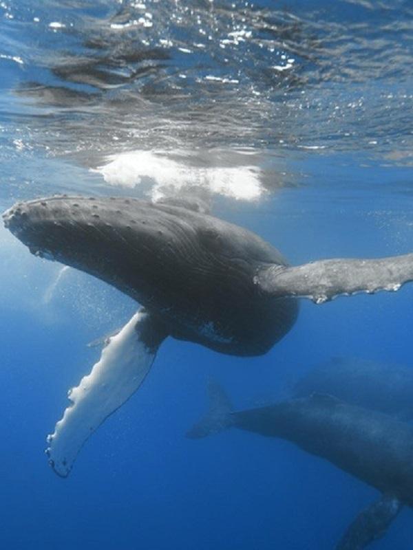 Identifican un repertorio de 15 temas en el canto de ballenas jorobadas