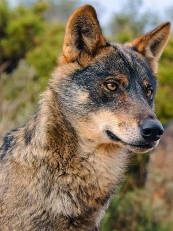 El nuevo Ejecutivo pasa olímpicamente de la protección del lobo