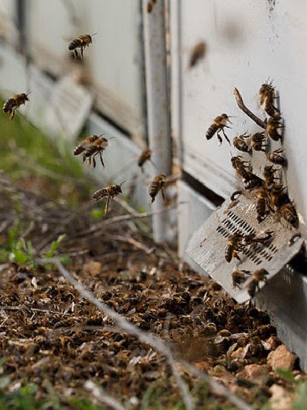 Los pesticidas son 'demoledores' para las abejas
