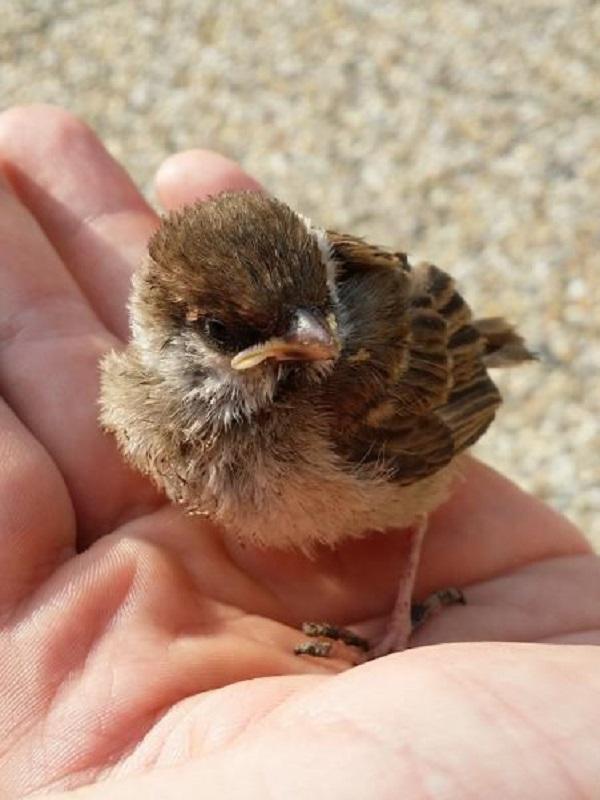 Si encuentro un pollito de ave caído de un nido, ¿qué debo hacer?