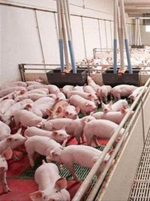 Reclaman al Gobierno una moratoria a la ganadería industrial