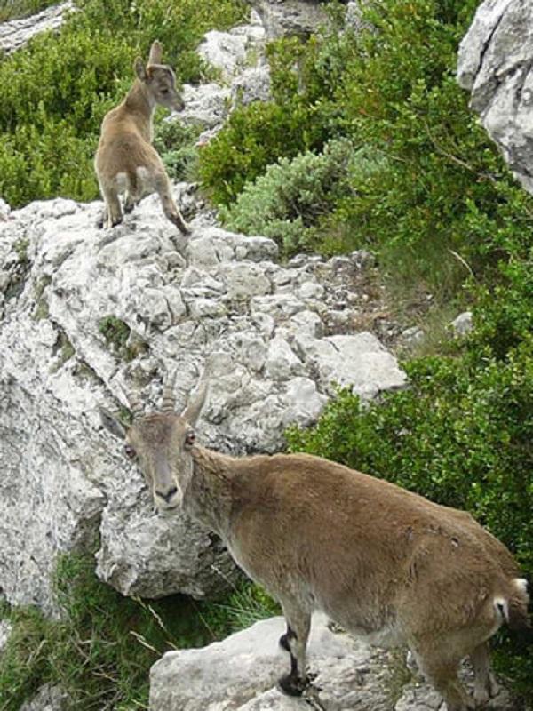 El TSJ nos da la razón: ¡Salvadas definitivamente las cabras de la Sierra de Guadarrama!