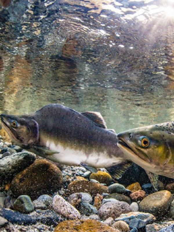 Los salmones rojos del Pacífico bajo el fenómeno del cambio climático