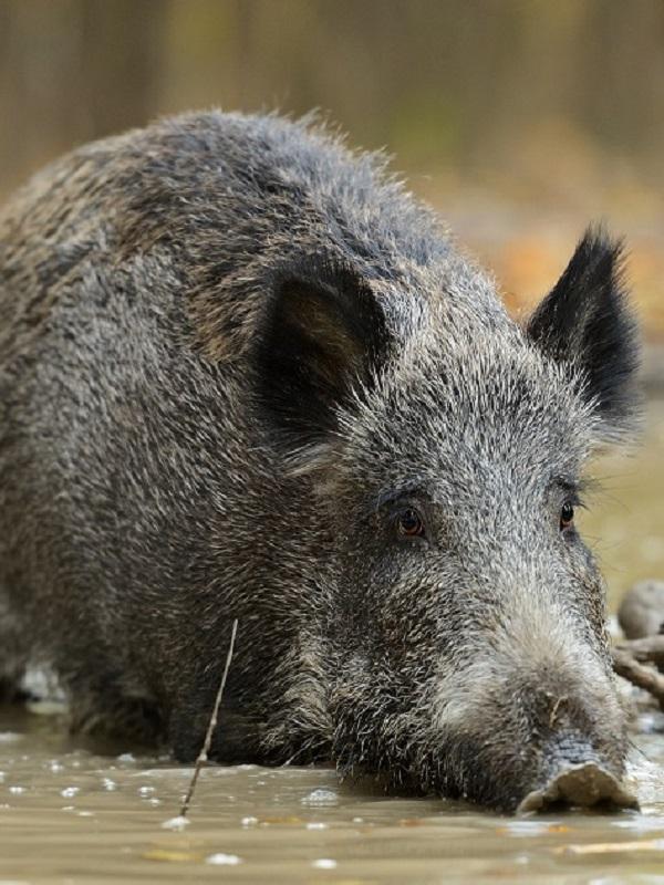 Investigadores europeos reclaman medidas con base científica ante la peste porcina africana