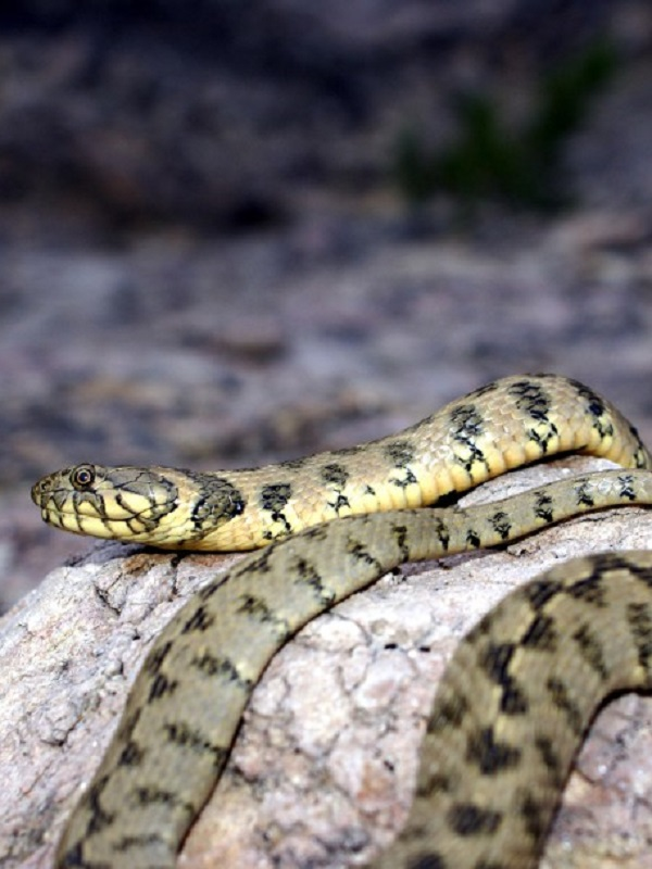 Más de 700 serpientes han sido capturadas en las Pitiusas en cuatro meses