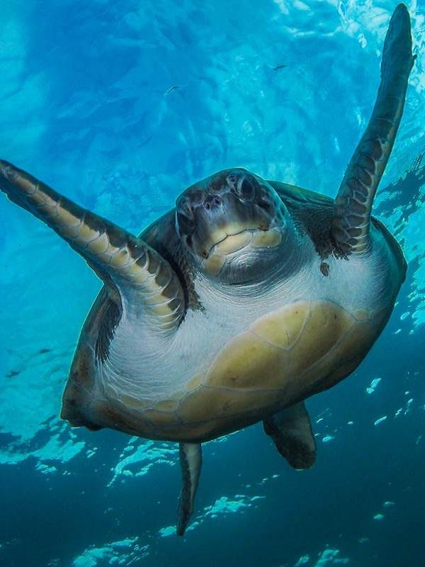 En Murcia arrancan una campaña para explicar a bañistas y turistas cómo actuar si ven tortugas marinas
