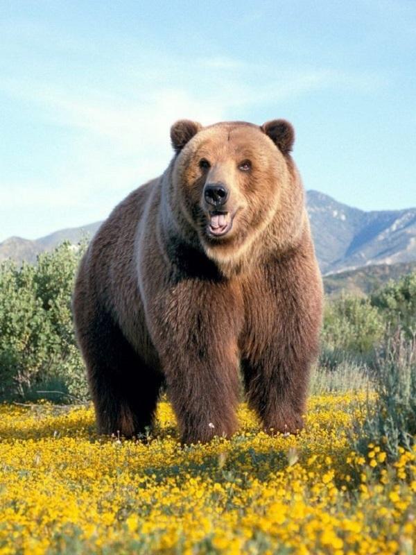 El oso pardo reacciona defensivamente ante comportamientos humanos inapropiados