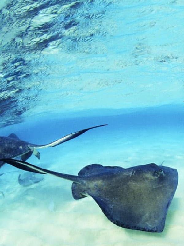 La raya marina más grande del planeta