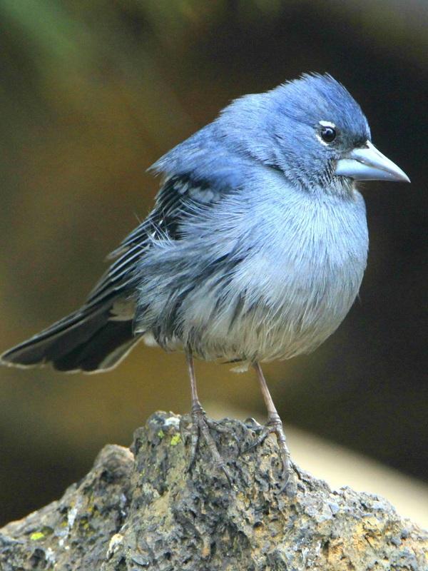 Una plaga interfiere en el apareamiento de los pinzones de Galápagos