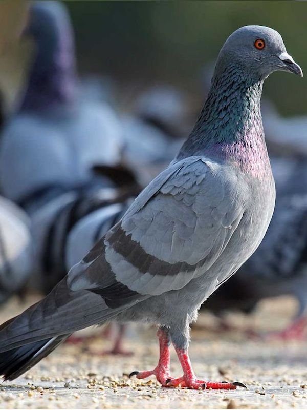 Solicitan la paralización de las capturas de palomas en la ciudad de Cádiz