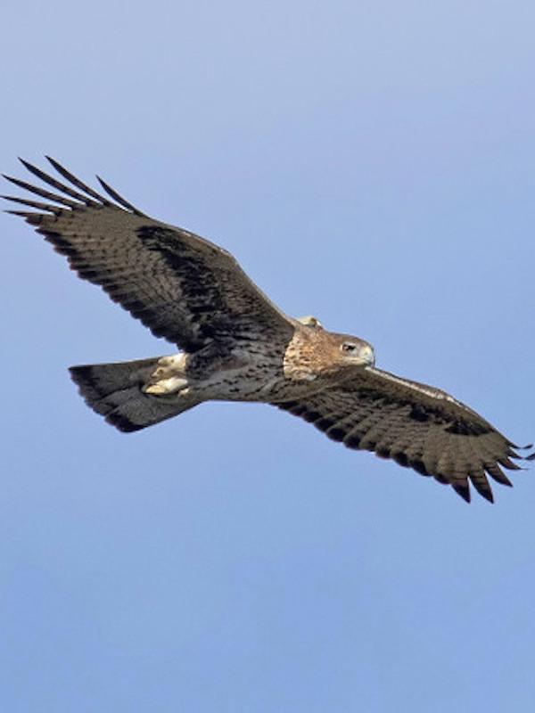 16 águilas de Bonelli criadas en cautividad en 2019 están siendo reintroducidas en España y Cerdeña