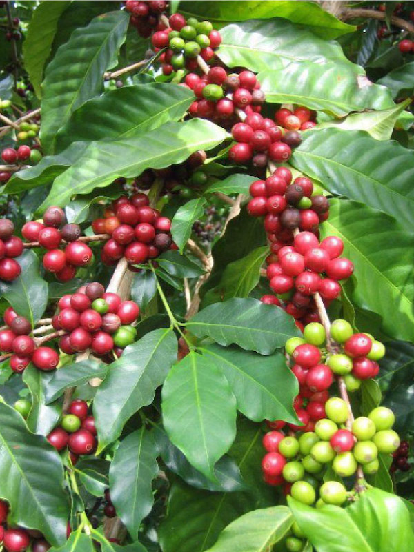 Media taza de café para cada persona si no se evita el impacto del cambio climático