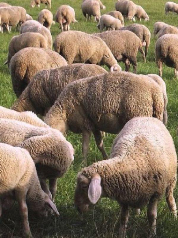Un pastor de Castellón prepara el primer sistema de fabricación no contaminante de queso de oveja