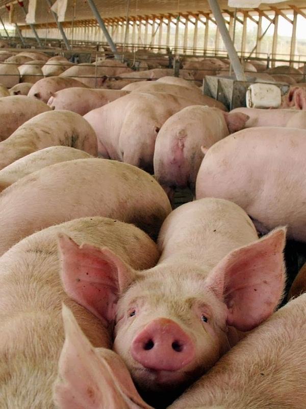 La ganadería industrial de Catalunya genera el 31% de las emisiones estatales de amoníaco