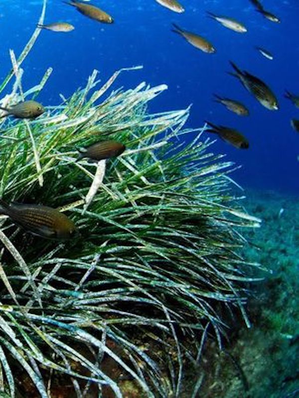 REE prevé acabar este otoño la recuperación de 2 hectáreas de pradera de Posidonia oceánica en Baleares