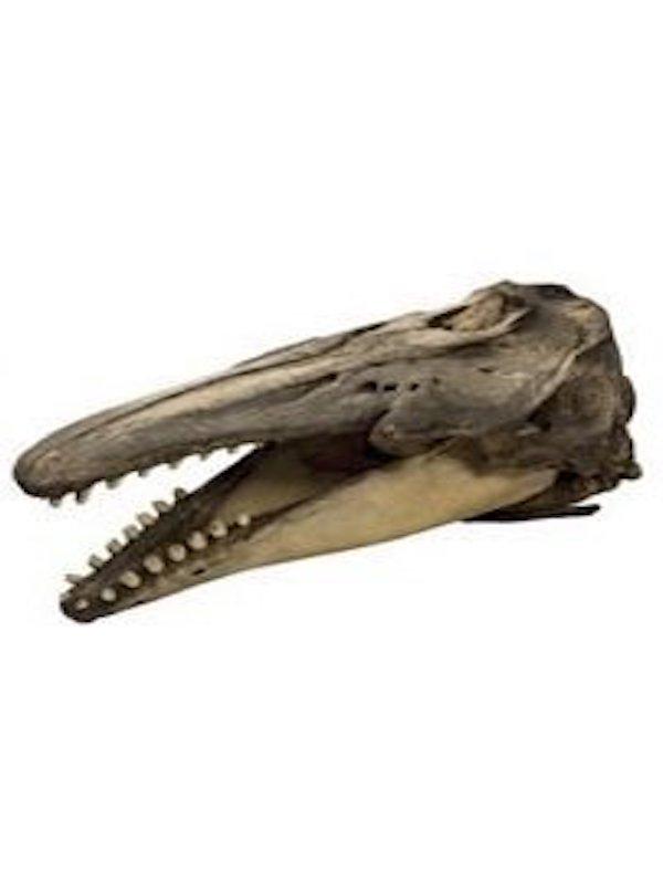 Primera evidencia de cruce entre ballenas narval y beluga