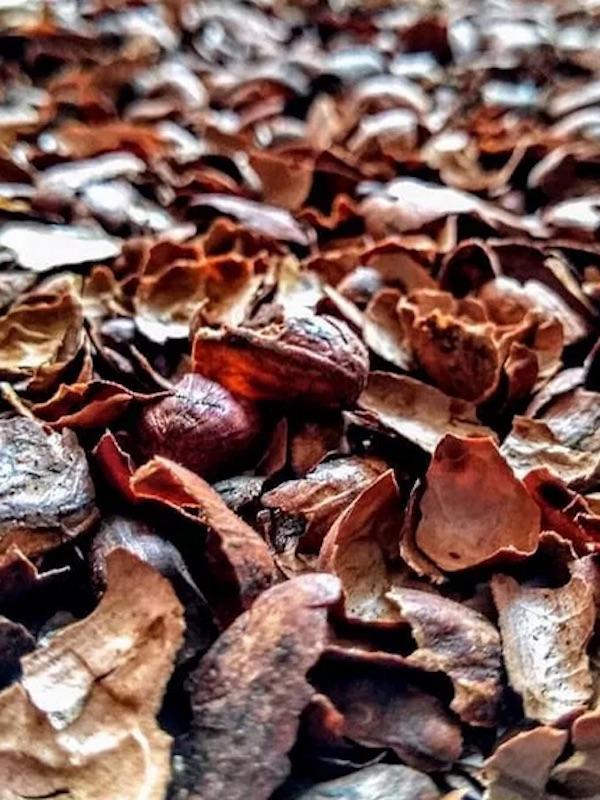 La cáscara del cacao podría revertir la diabetes por obesidad