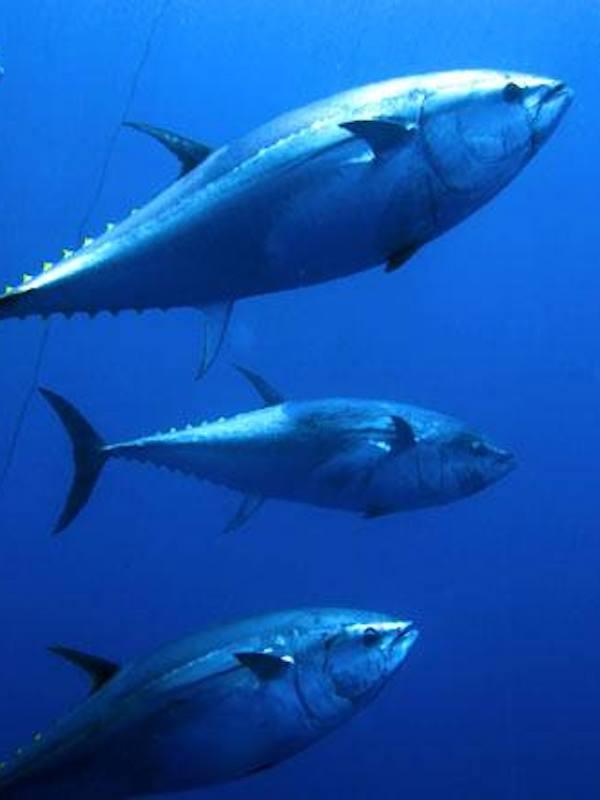 El Gobierno destina 98.700 euros a organismos internacionales de conservación de atunes, delfines y bosques