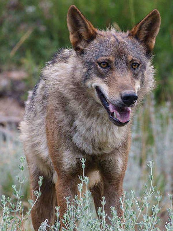 Buenas noticias, nace el 'Observatorio del Lobo'