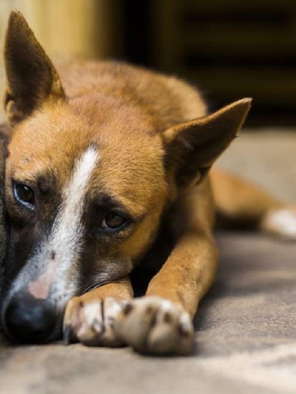Veterinarios valencianos recomiendan no pasear a las mascotas en las horas de mayor actividad pirotécnica en Fallas