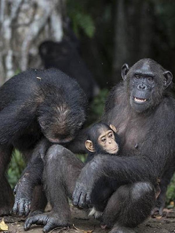 La nefasta influencia sobre los chimpancés del ser humano