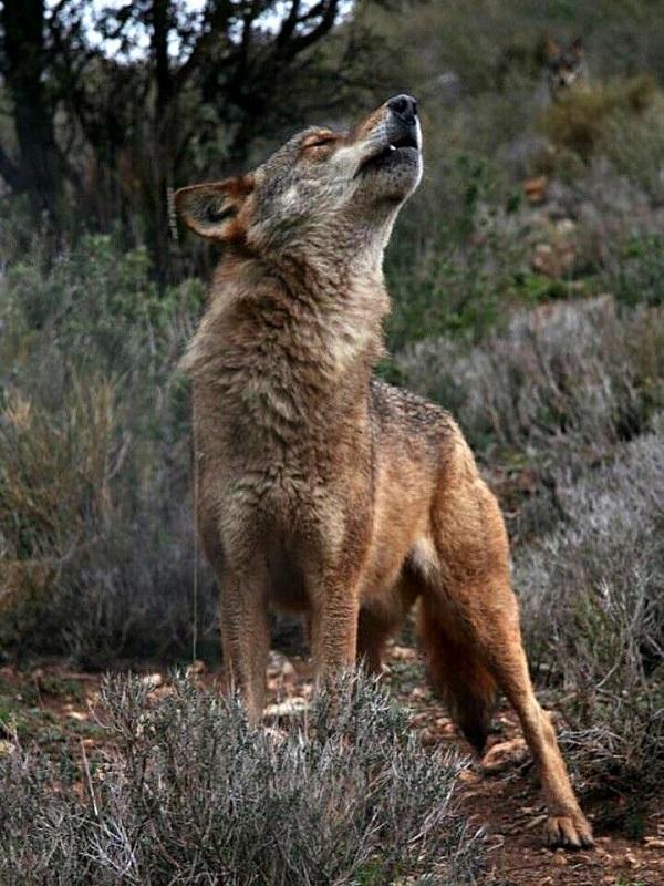 La labor de selección que efectúa el lobo ibérico podría propiciar trofeos cinegéticos de mayor calidad, según una publicación de Life Lobo Andalucía