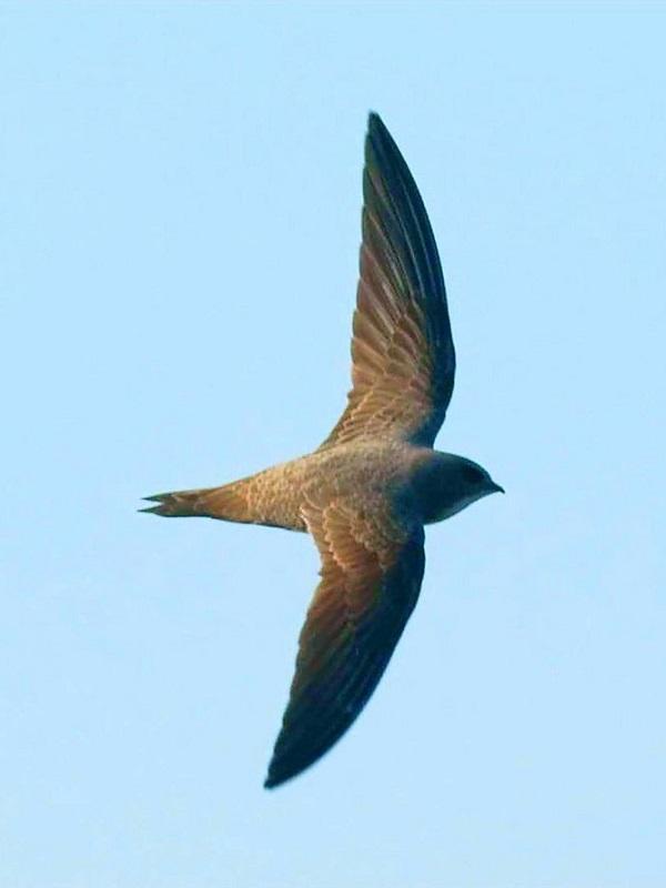 ¿Un ave que come y duerme en el aire?
