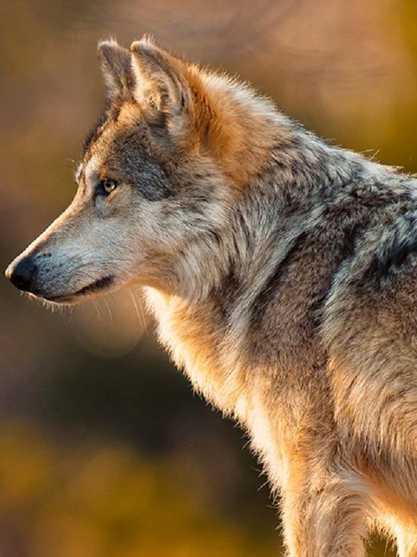 La Comunidad de Madrid debe y puede aprobar un plan de recuperación del lobo