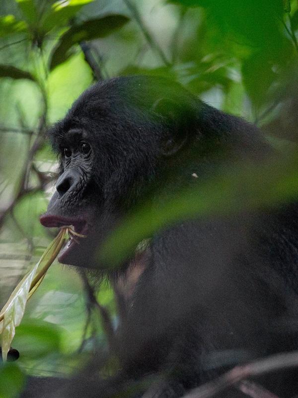 No te puede perder el video de estos chimpancés, gorilas y bonobos ante una cámara