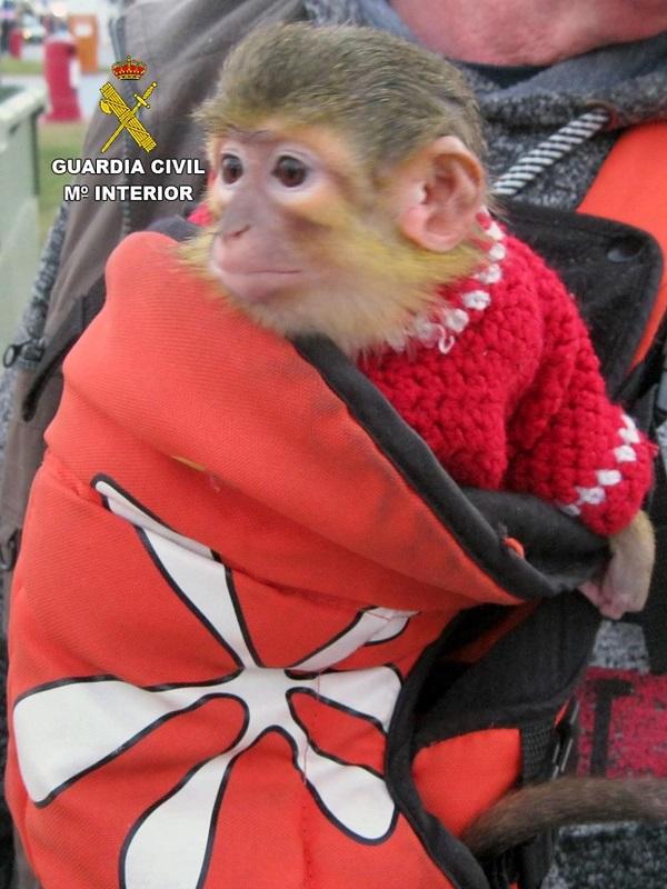 La Benemérita se incauta de un ejemplar de mono tití en las fiestas de Carnaval de Águilas
