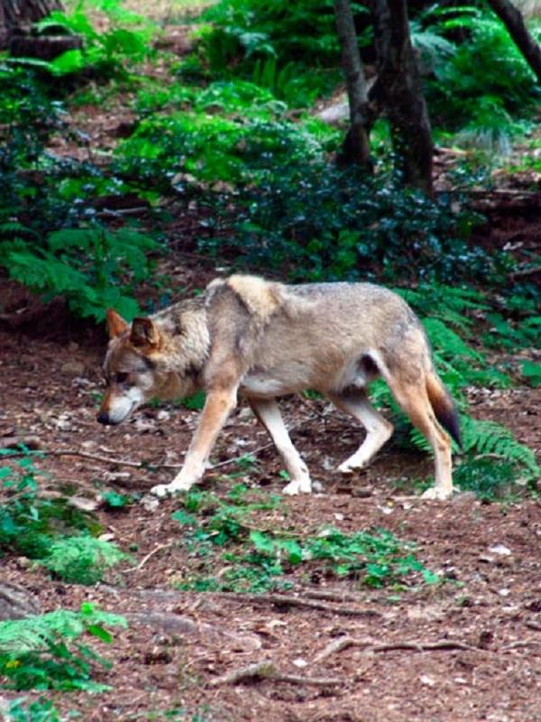 Muere un lobo atropellado en Madarcos