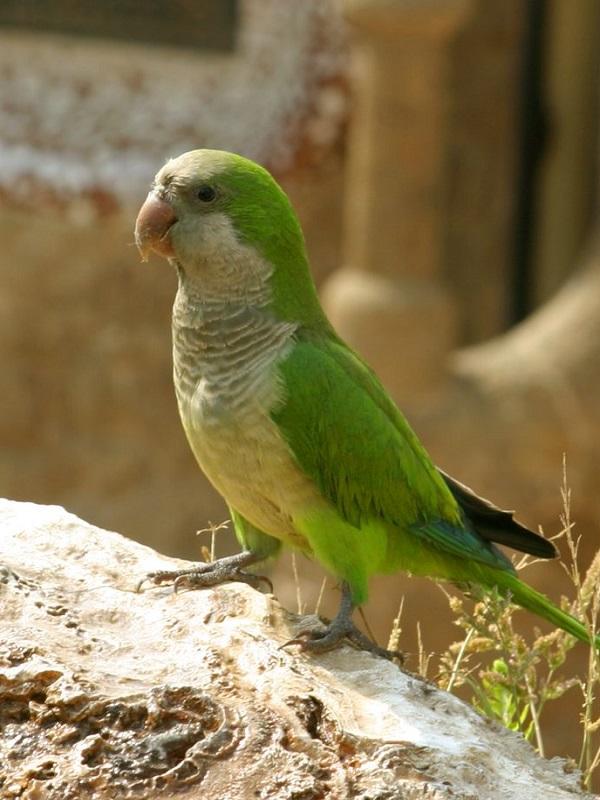 ANECPLA advierte de la peligrosidad de las cotorras para las especies autóctonas