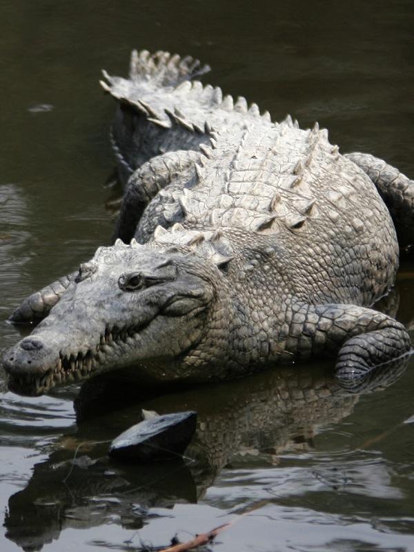 Los cocodrilos ofrecen pistas sobre el oído de los dinosaurios