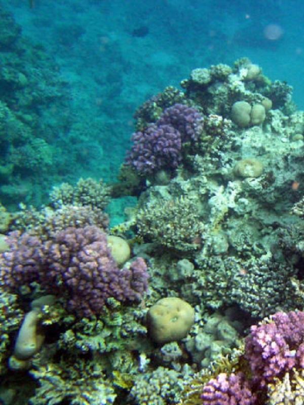 La eterna guerra entre corales y algas