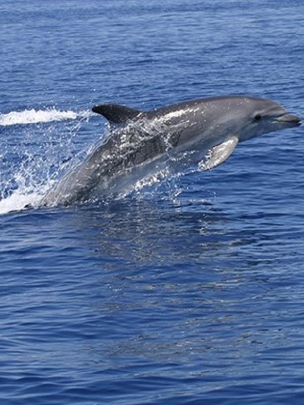 Presentan un estudio sobre la presencia de cetáceos en los montes submarinos de Mallorca