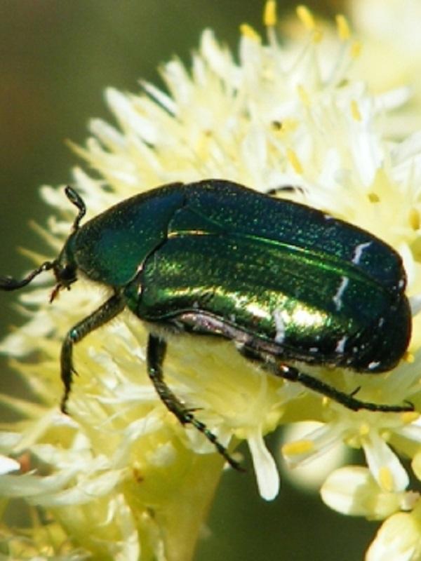 El Mediterráneo pierde gradualmente la población de escarabajos saproxílicos