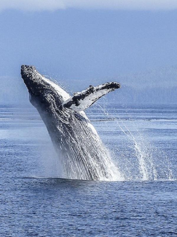 Los secretos de la ballena jorobada