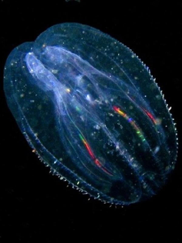 Un fósil de 500 millones de años revela el origen de las medusas peine