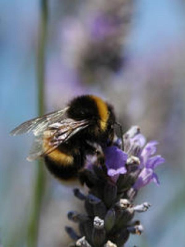Investigadores del CSIC confirman que los abejorros polinizadores de invernadero ocupan el hábitat de los locales