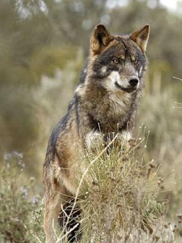 Algo se mueve en la conservación del lobo