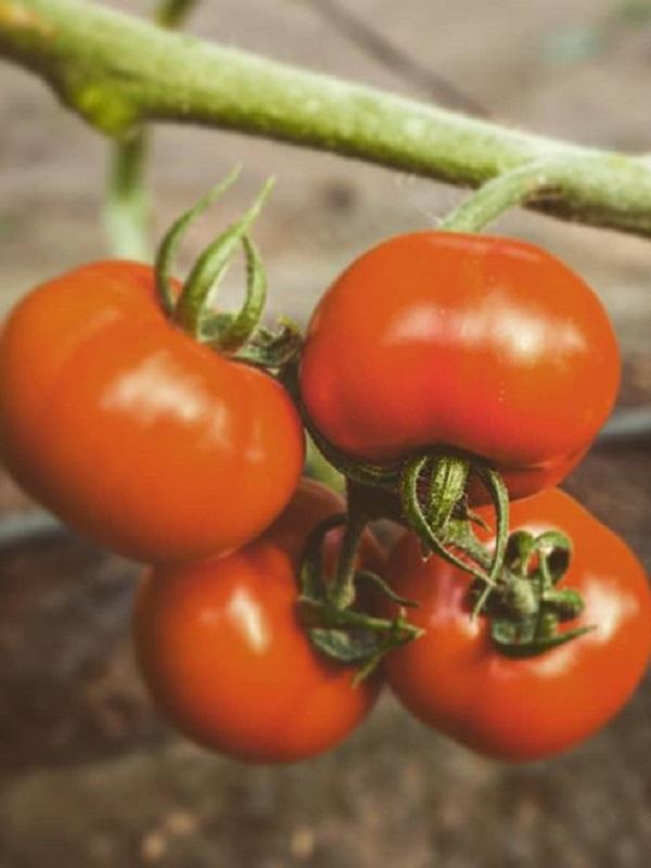 Los tomates de ECOSUR con un extra de innovación ecológica