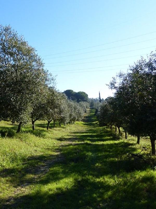 Restaurar las zonas improductivas con plantas silvestres y mantener la cubierta herbácea, claves para los olivares